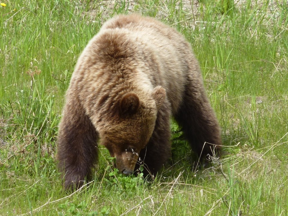 grizzly-bear-pine-pass