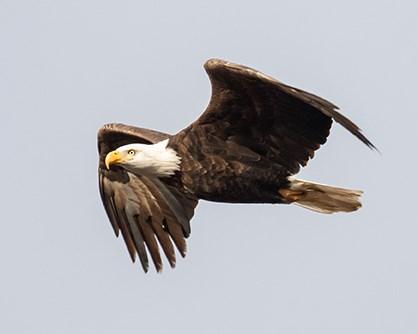 Brian Aikens eagle photo.
