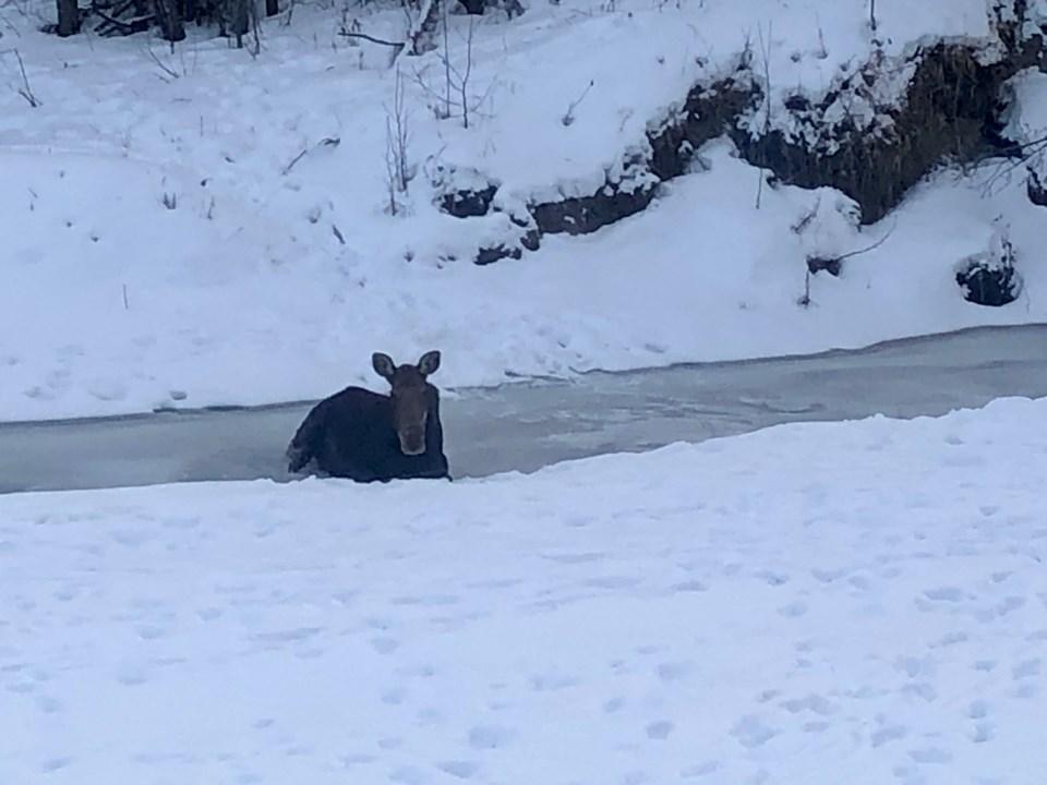 moose-rescue-hh-rcmp