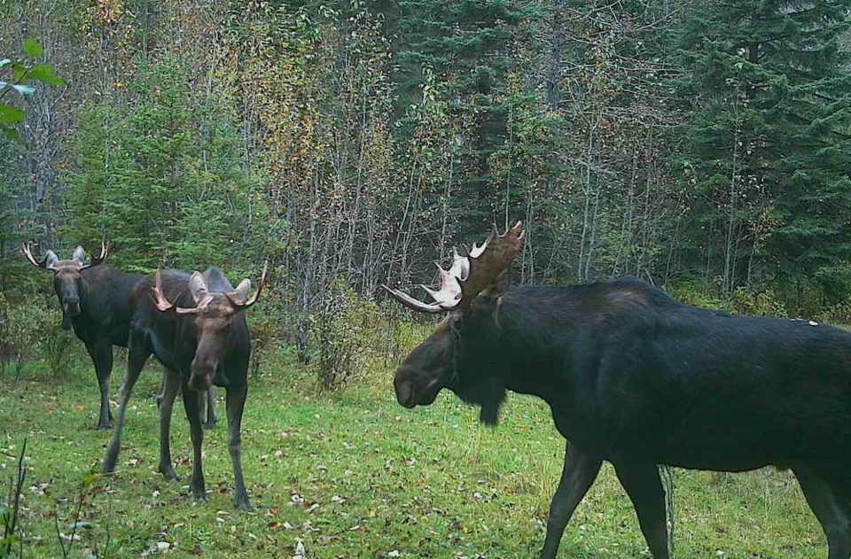 moose-saugstad