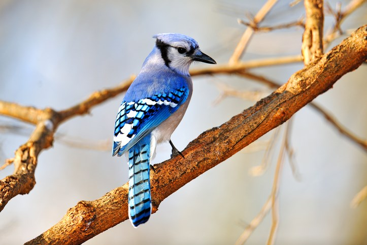 bluejay-gettyimages
