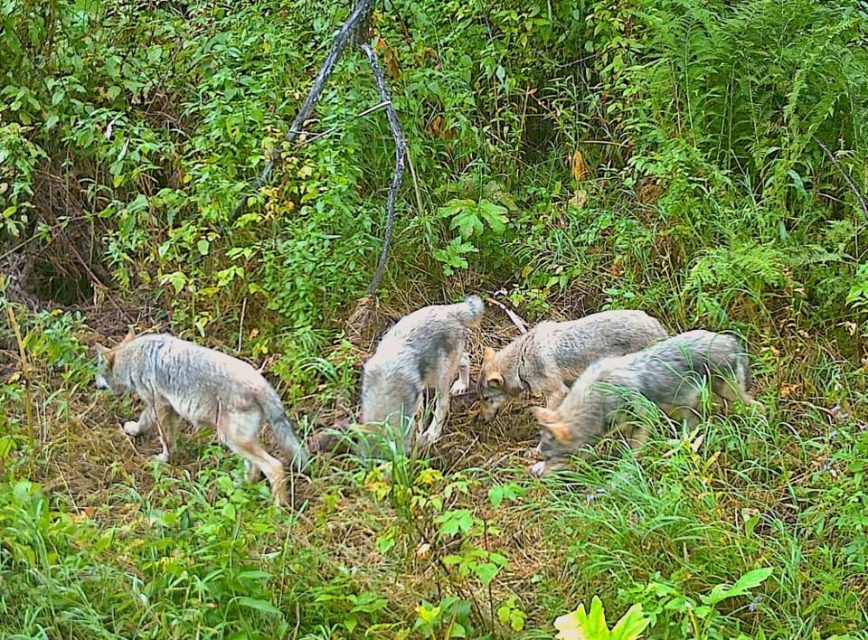 wolves-southpeace