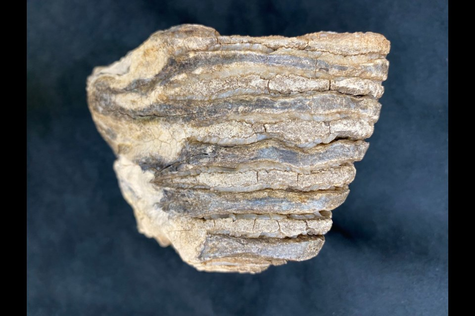 Chewing surface of mammoth molar.