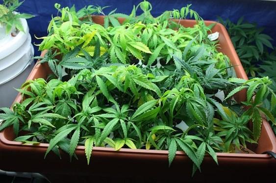 Medical Marijuana - Feds vs. City