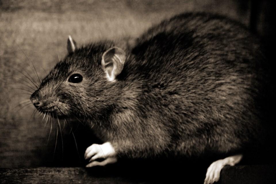Rat Sex