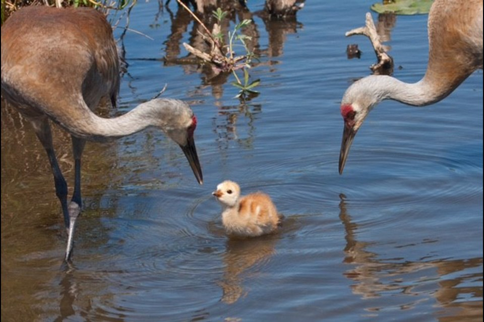 This sandhill crane chick, or 'colt' as birders would say, was spotted at Burnaby Lake recently but is now feared dead.