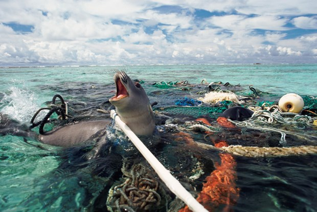 Seal trapped in net