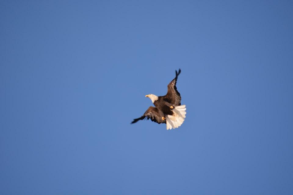 bald eagles on Bowen