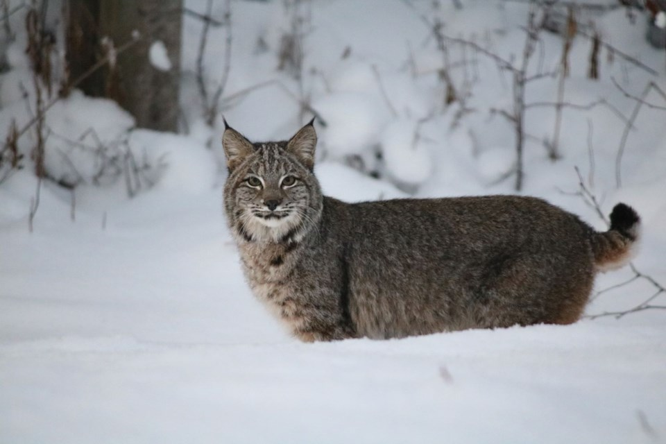 A rare sighting of a bobcat photographed just outside of Prince George this winter, making it one of the most northern bobcats ever detected.
