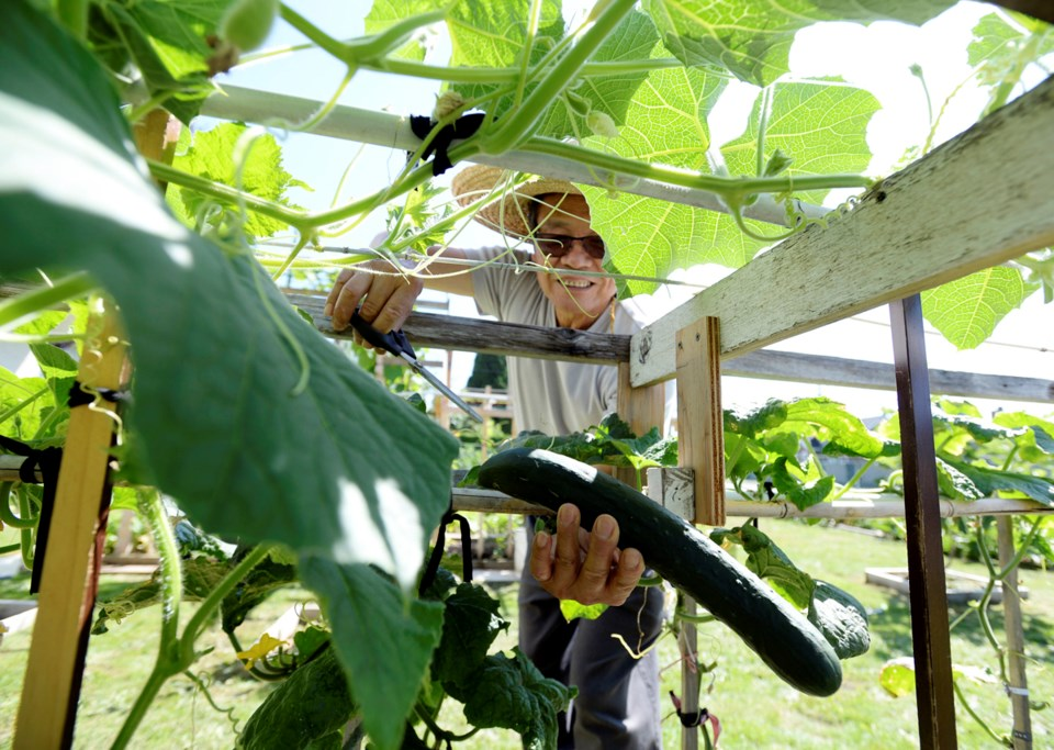 Like many immigrant Asian seniors, Jason Lee grows a colourful mix of eastern and western crops in h