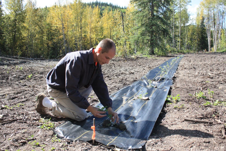 Darren Shankel, principal of the Peace Christian School near Chetwynd, tends to a row of Haskap berries at the school's experimental garden. The school is taking part in a study with the University of Saskatchewan that could fuel the potential for Haskap becoming a cash crop in the Peace country.