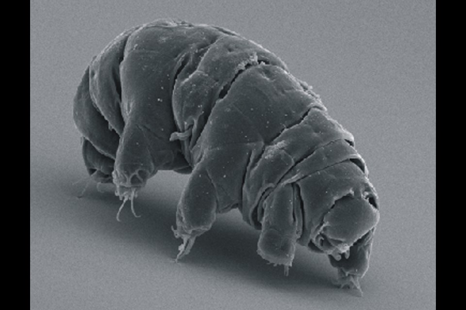 The tardigrade (pronounced tar-dee-grade) is an itty-bitty creature with eight legs that looks like an air mattress with an attached vacuum cleaner nozzle. It's almost invisible and nearly indestructible. It's commonly found in mosses, lichen and damp outdoor spaces.