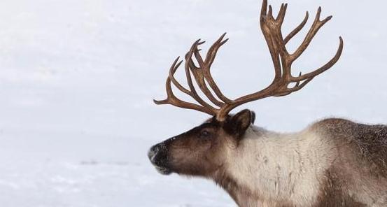 Caribou reindeer.