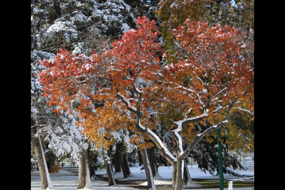 Foliage confusion - do I stay or do I go? This beautiful tree seen in Victoria Park, Virden.