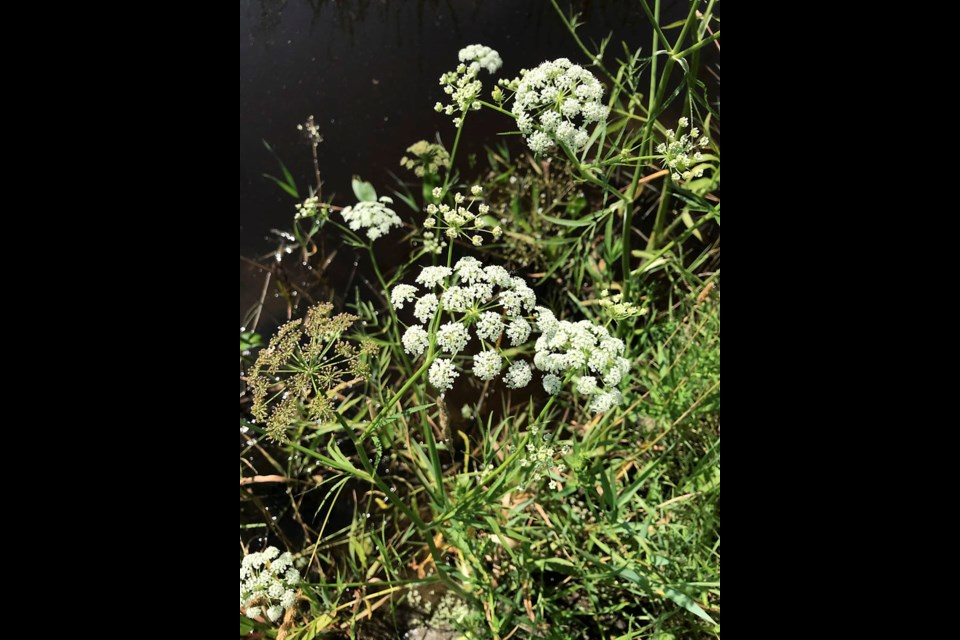 Cow parsley (water parsnip) is not poisonous and rather common, but it highly resembles the noxious water hemlock.