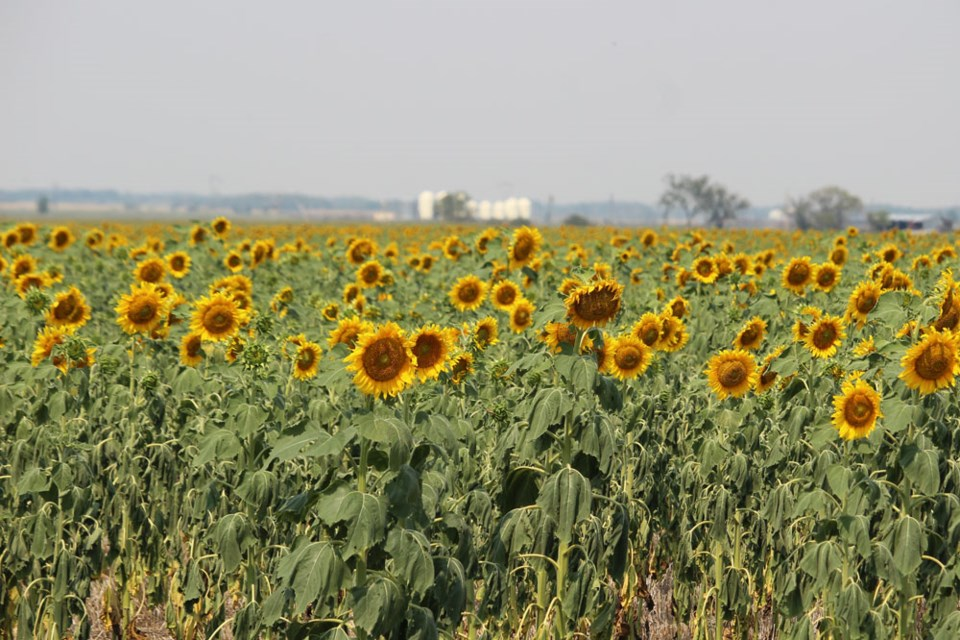 Sunflowers near Pipestone turn to face the sun. Wilted leaves tell the story of drought. Haze is due to heat along with smoke from far away fires that have polluted Manitoba throughout late July and August.