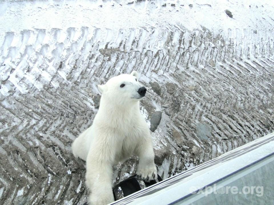 polar bear checking out tundra buggy