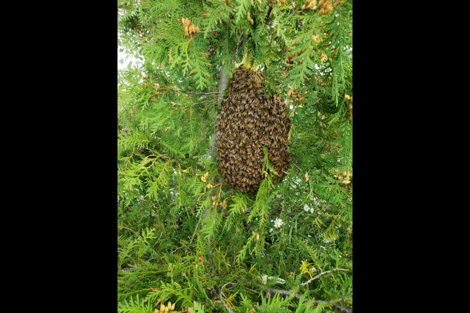 A swarm of honeybees collect around the queen in a tree. Supplied photo