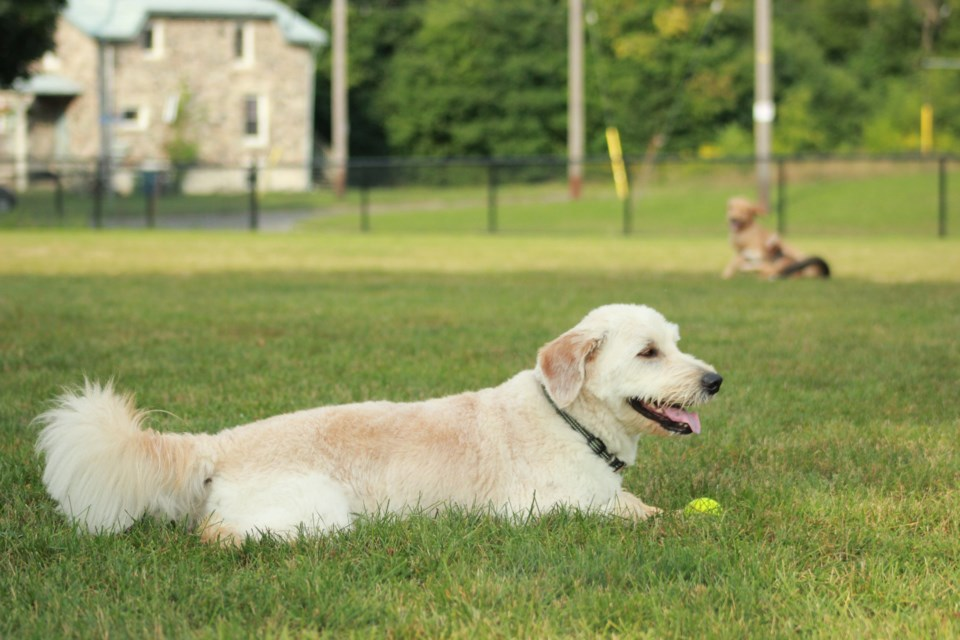 A dog named Jackson enjoys his time in the fenced-in, leash-free dog park in Bristol Street Park. Anam Khan/GuelphToday