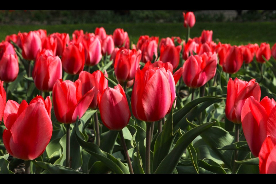 Bright pink tulips at Riverside Park.  Anam Khan/GuelphToday