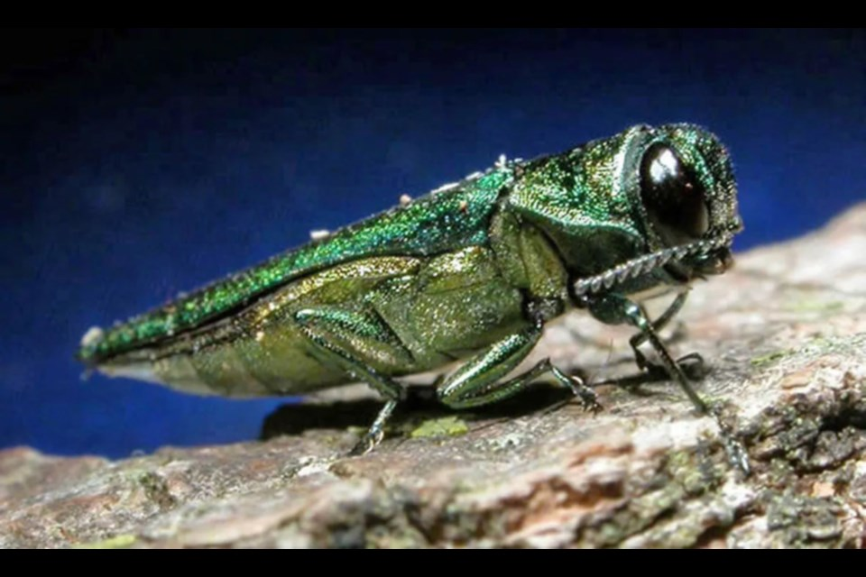 Emerald ash borer. Stock photo