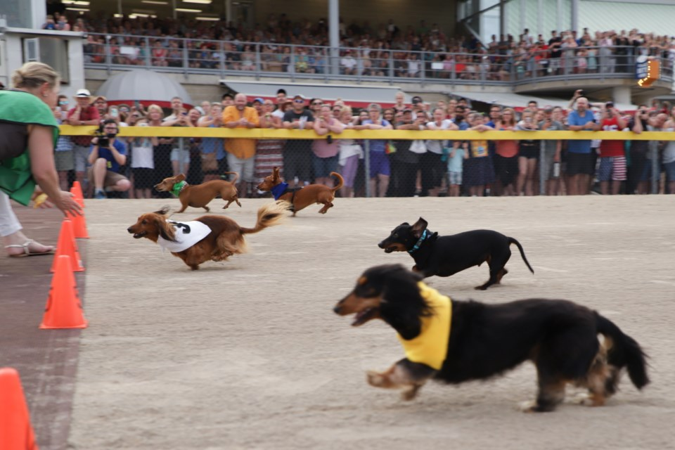 Dogs race toward the finish line at the annual Grand River Raceway Wiener Dog Races. Karen K. Tran for GuelphToday.com