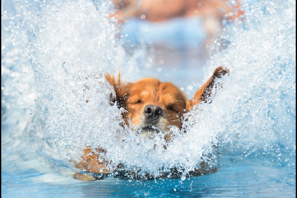 Making a big splash at the dockdogs Dog Diving event that was held all weekend at Ren's Pet Depot in Aberfoyle. Tony Saxon/GuelphToday