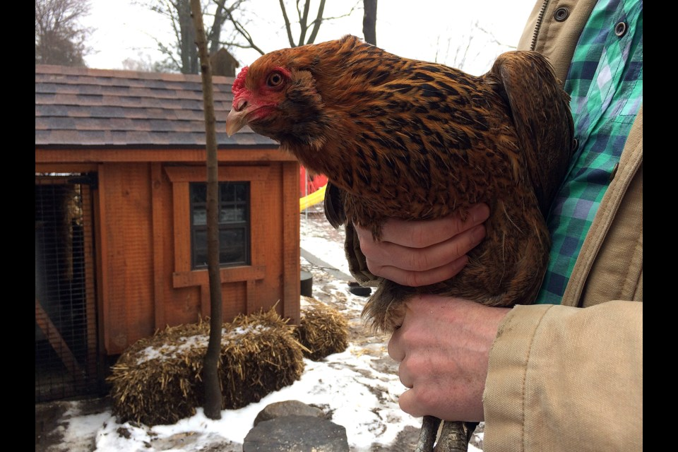 Local urban farmer, Mike Craig holds one of the chickens he raised in his backyard.  GuelphToday file photo