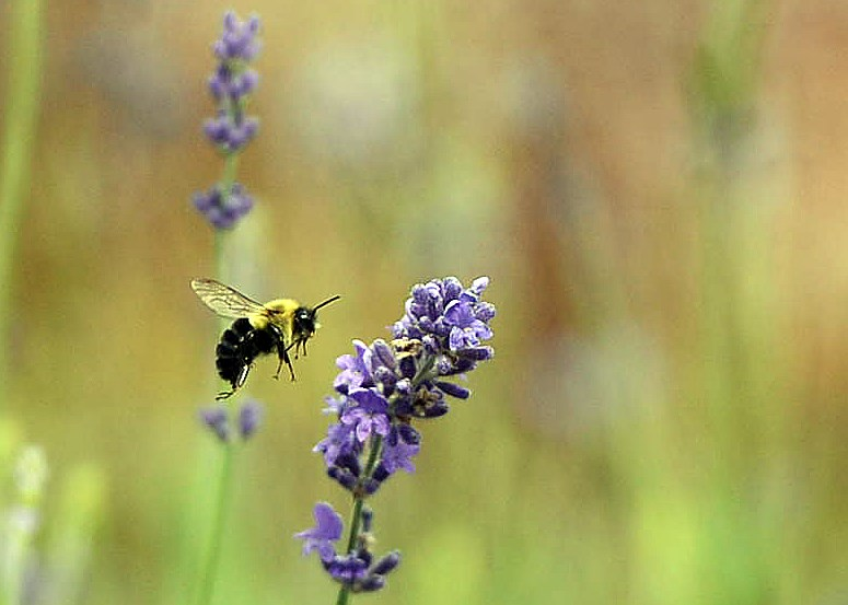 A bee checks out a flower in a pollinator garden. Tony Saxon/GuelphToday