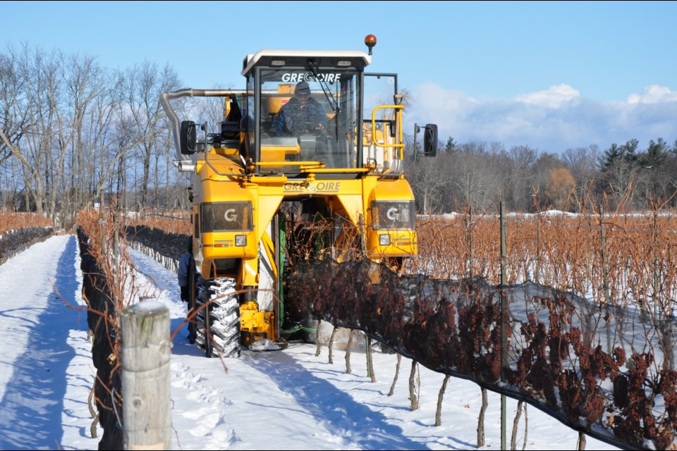 Harvesting grapes for icewine at Henry of Pelham in Niagara. Owen Roberts for GuelphToday