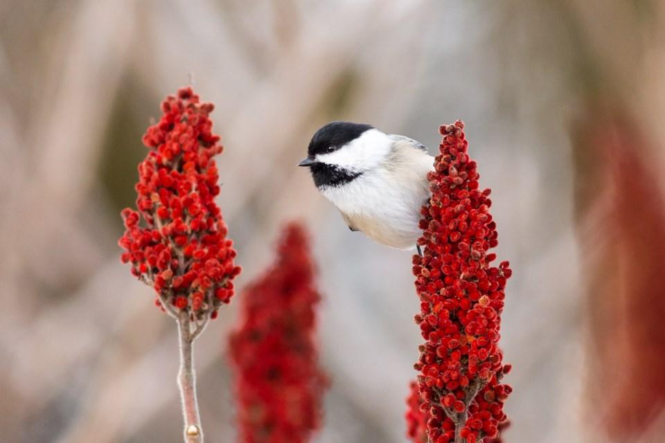 Black-capped chickadee. Brett Forsyth Photography