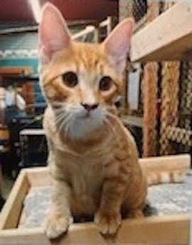 Adopt Me: Oggie the affectionate orange tabby