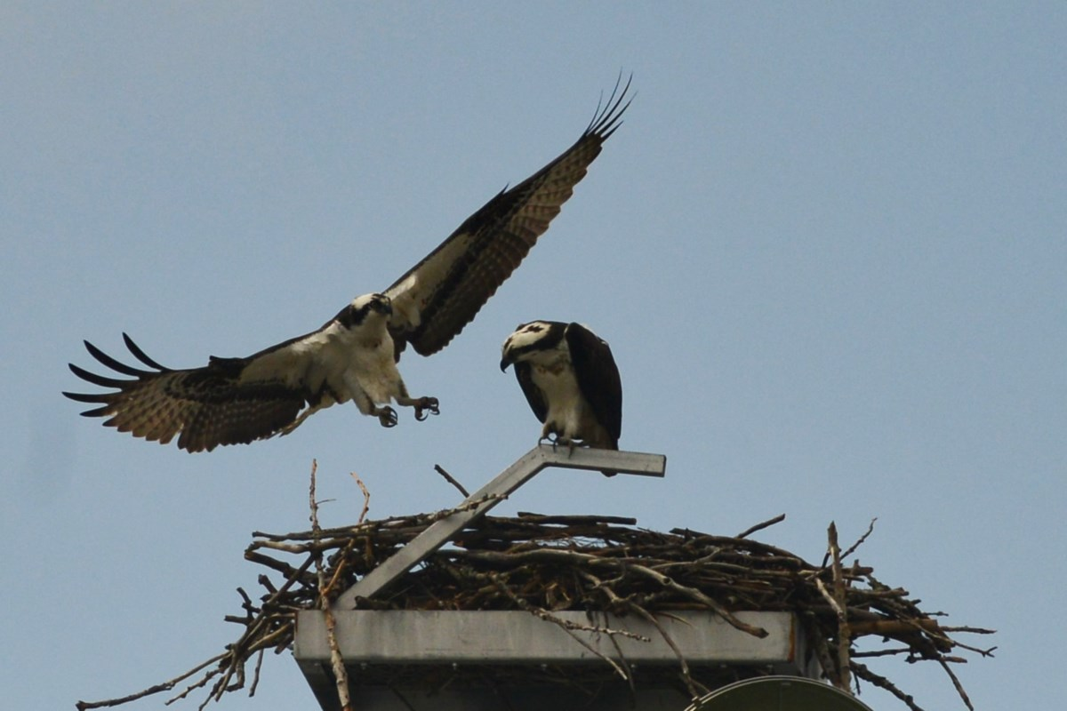 The ospreys have returned to Guelph (4 photos)