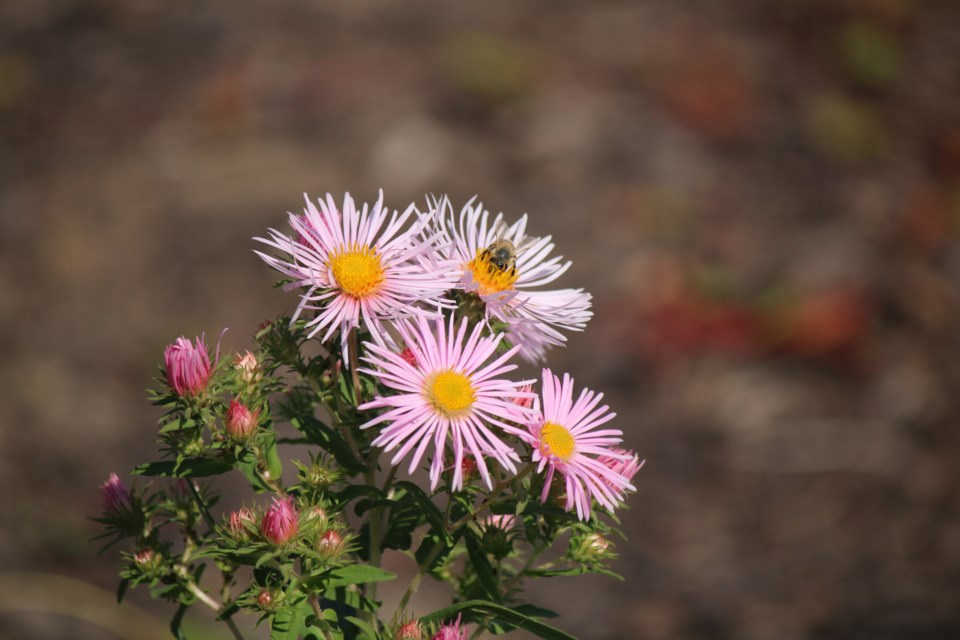 The county is looking to support pollinator habitat by planting native flower species. Keegan Kozolanka/GuelphToday