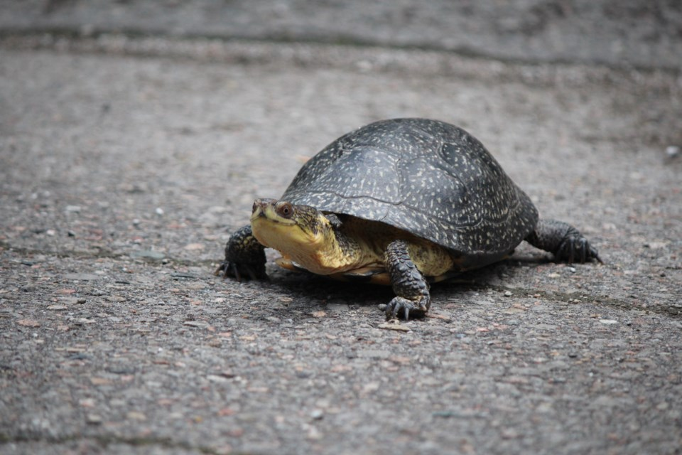 Blanding's Turtle - photo Nature Conservancy off Canada
