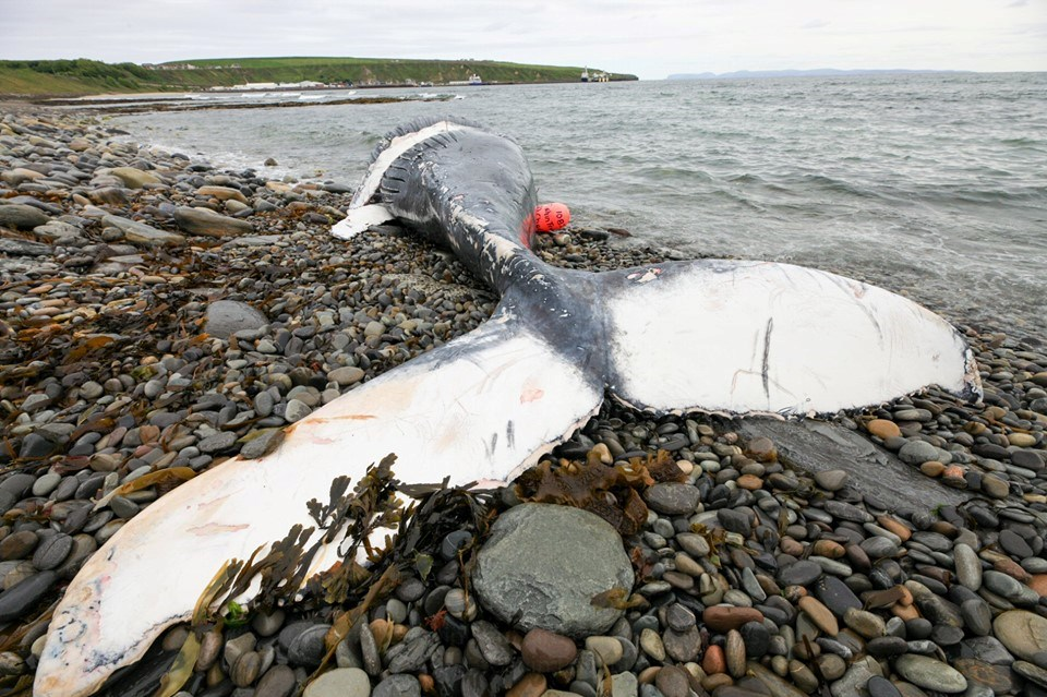 The young humpback whale washed ashore on Scrabster beach.  (Photo via Scottish Marine Animal Stranding Scheme / Gavin Bird)
