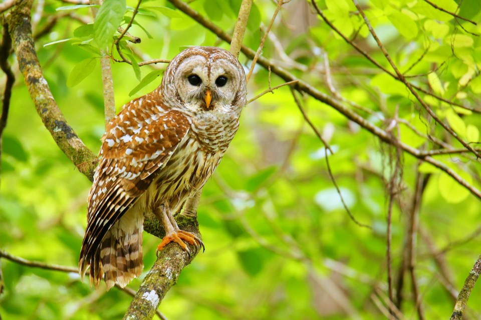 012319-barred owl-AdobeStock_119870673