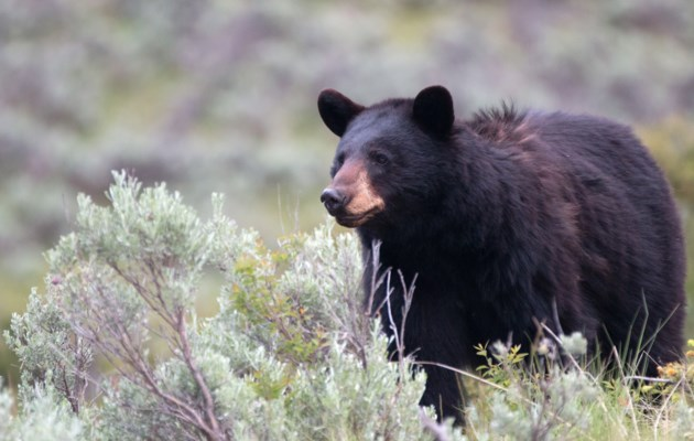 060118-black bear-AdobeStock_115598363