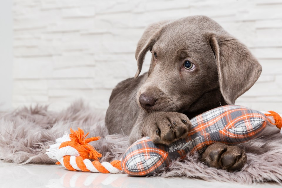 071918-puppy-pet-dog-AdobeStock_108574506