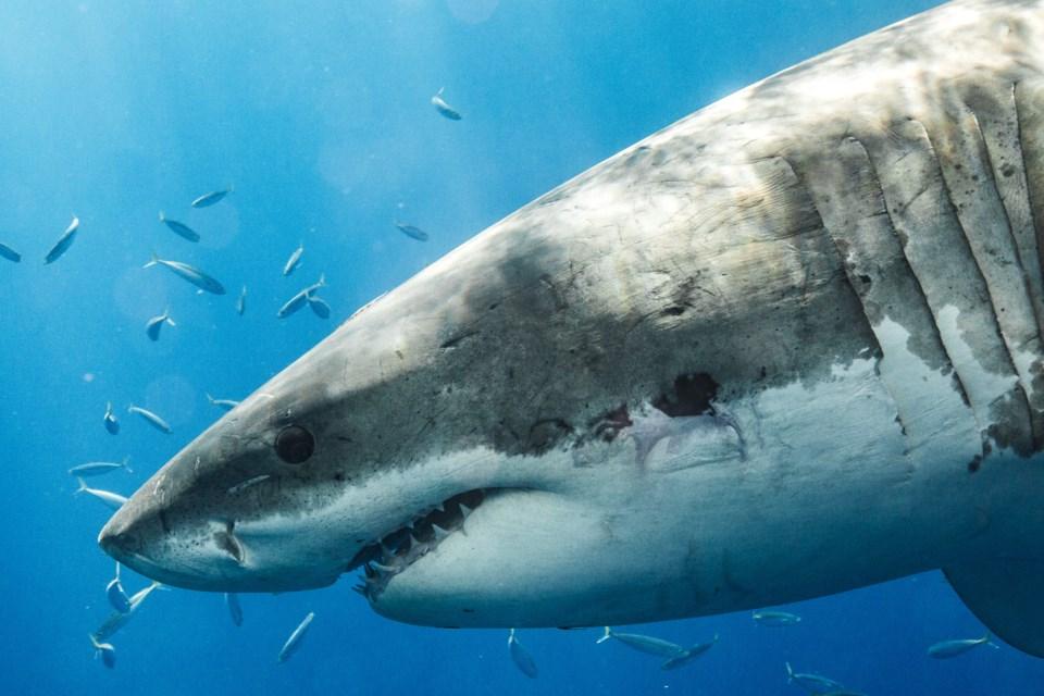 072419-great white shark-AdobeStock_275390698