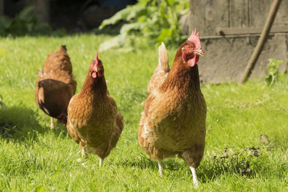 082918-chicken-hen-AdobeStock_85165582