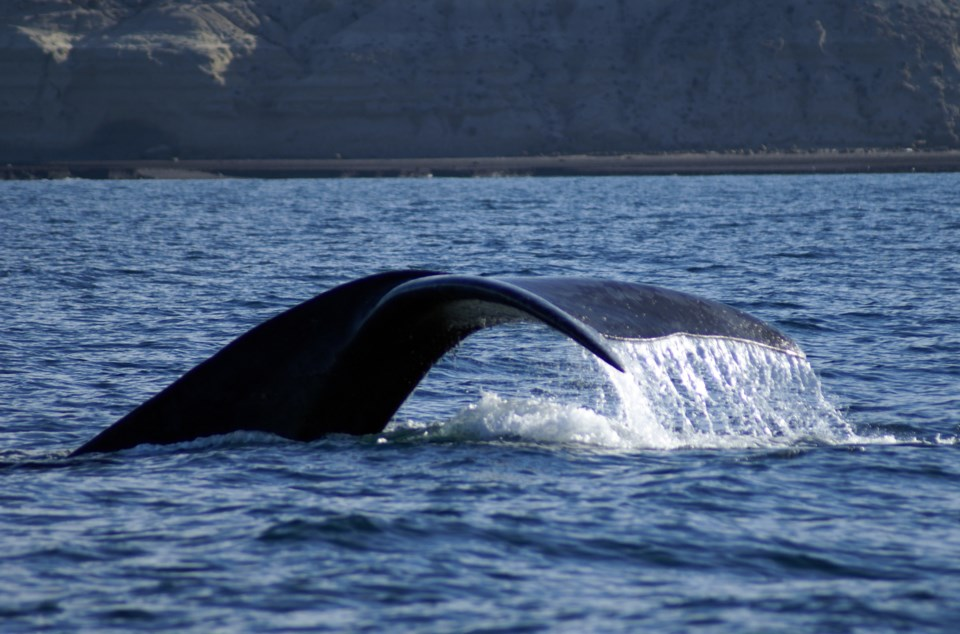 102217-right whale-adobe stock photo-MG