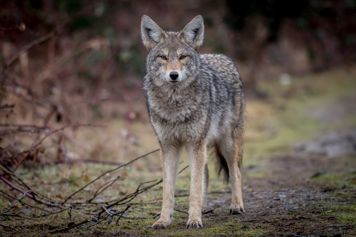 BEYOND LOCAL: How humans, coyotes can learn to coexist in city settings