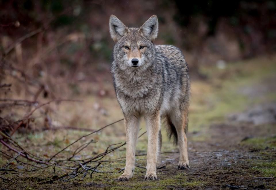 110519-coyote-AdobeStock_159526196