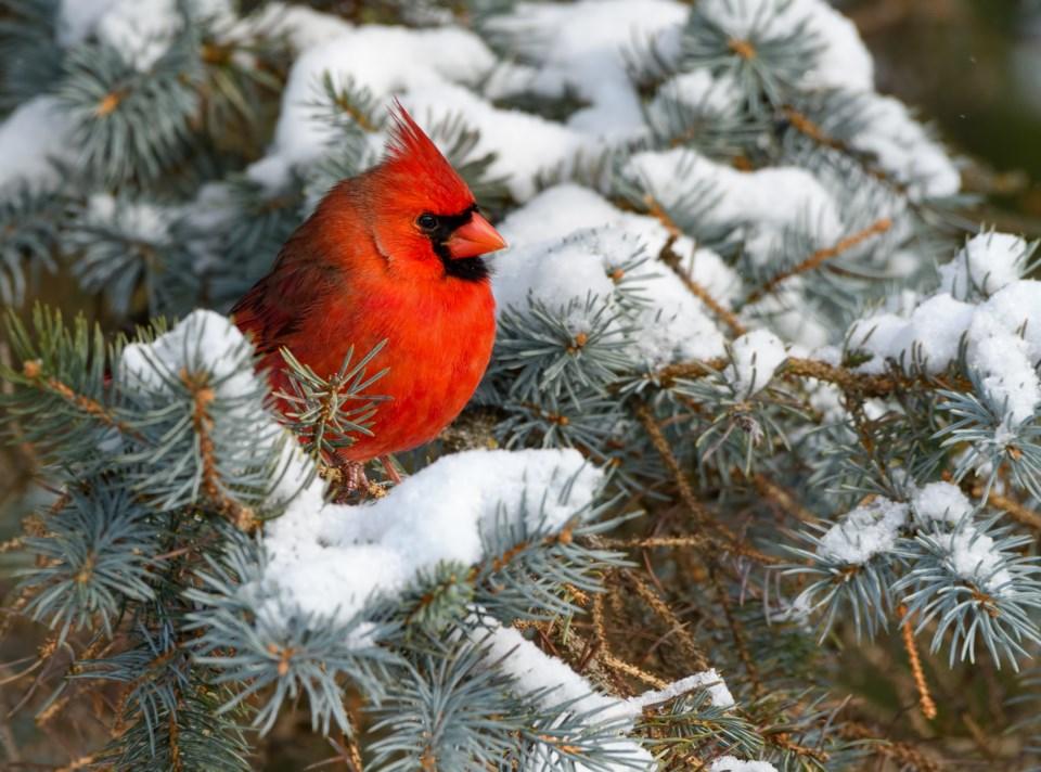 112619-cardinal-winter bird-christmas bird count-AdobeStock_237657795
