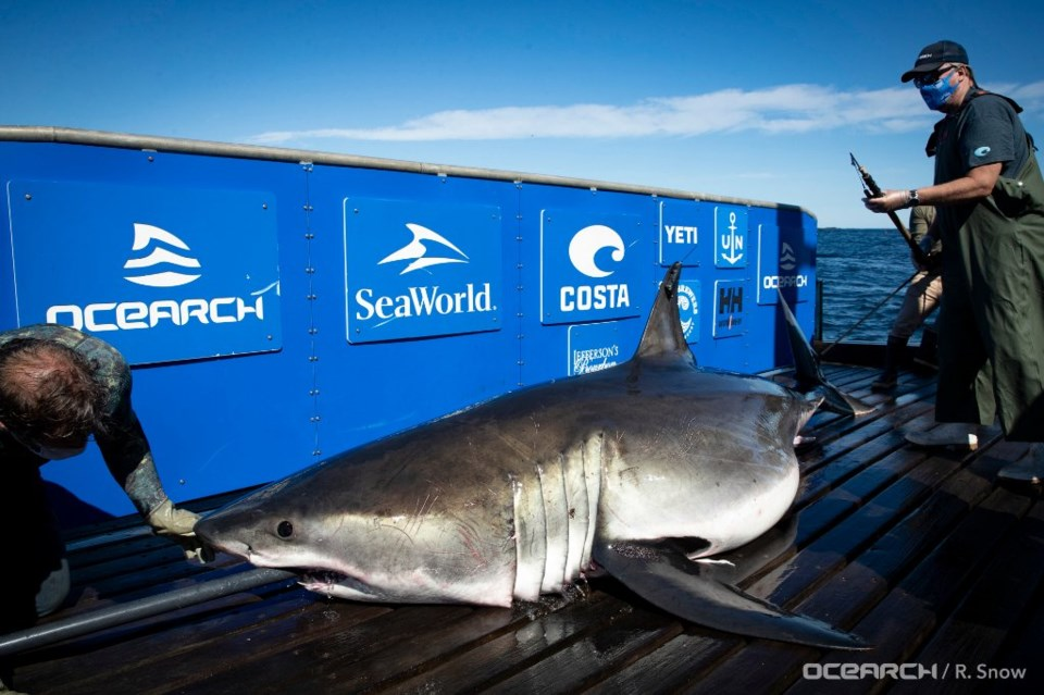 091420 - great white shark breton ocearch