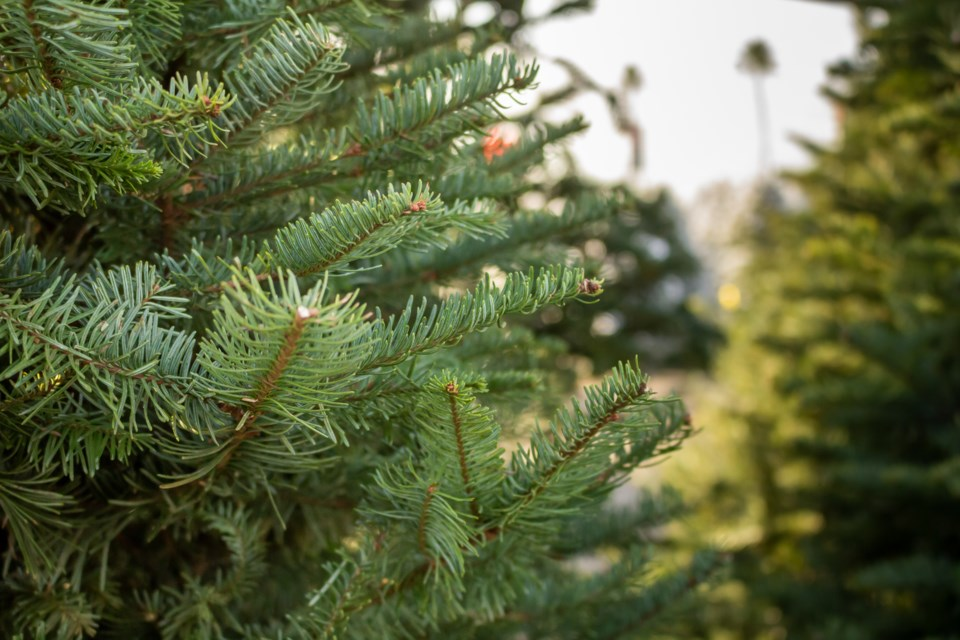 010220 - christmas tree lot - AdobeStock_307054344