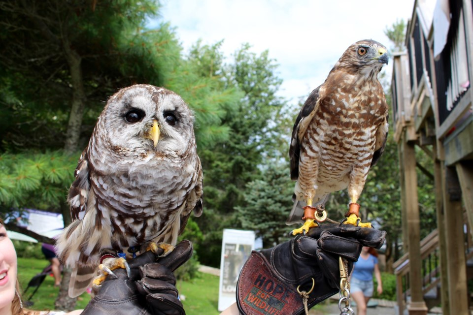 Ariel the barred owl and a Edward the broad winged hawk. Ariel was struck by a car two years ago and is still with Hope for Wildlife because her wing had to be amputated. Edward is a girl and had a broken right wing. (Katie Hartai/HalifaxToday.ca)