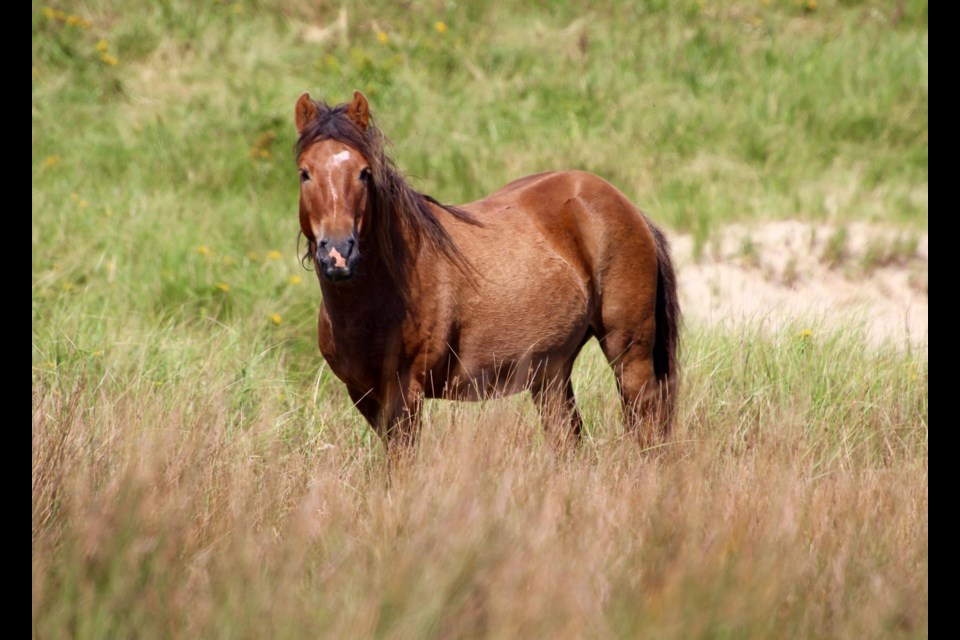 Parks Canada asks you keep 20 meters away from the wild horses. (Katie Hartai/HalifaxToday.ca)
