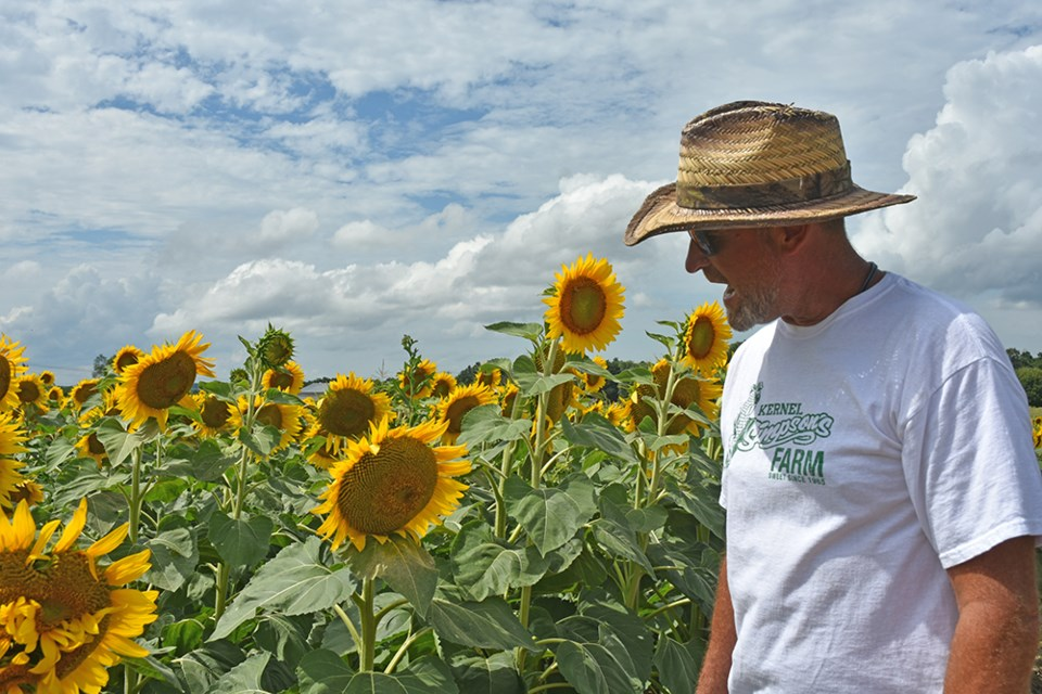 Richard Simpson is proud of his first crop of sunflowers. Miriam King/Innisfil Today